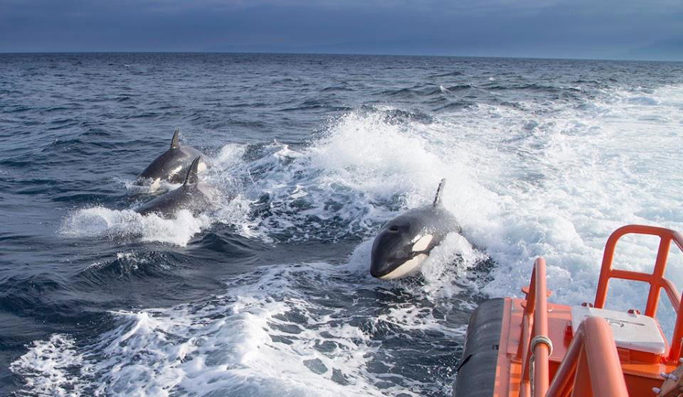 orcas-nadando-en-Torifa
